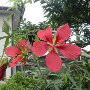 「竹の花/男石宣隆」良さそうです。 もみじ葵&ハブランサス。