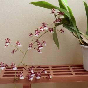 小田純平の新曲A、B面共唄えた。北川大介が新曲「星空のツイスト」を10月7日に発売、秋野菜を植えた。オンシジウム。