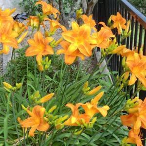 ヘモロカリスが満開、伊坂ダムの紫陽花が満開です。 「純情向かい風/竹島宏」練習中。