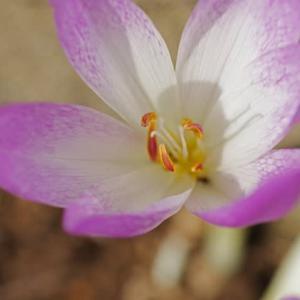 [#4147] コルチカム(1)花のマクロ写真
