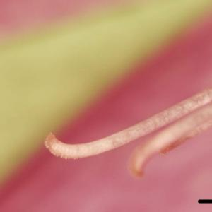 [#4148] コルチカム(3)雌しべのデジタル顕微鏡写真