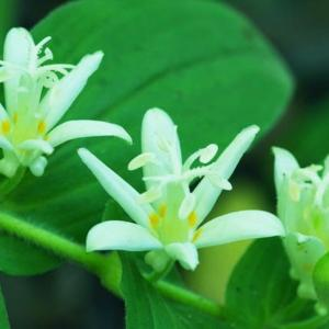 [#4226] ホトトギス(7)白系の花のマクロ写真