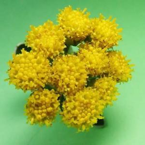 [#4248] 磯菊(6)小花の超マクロ写真