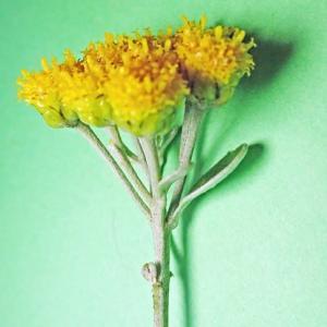 [#4245] 磯菊(3)1本の小枝を横から見た形