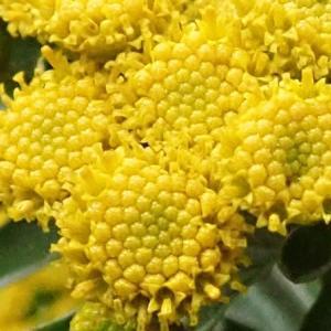 [#4246] 磯菊(4)小花のマクロ写真