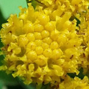 [#4247] 磯菊(5)小花のマクロ写真
