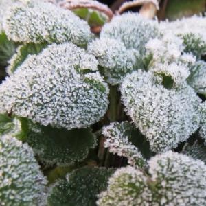 [#4268] マクロ写真(2020.01~02)(4)霜