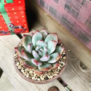 ◆鉢植え後も可愛さキープです。。。