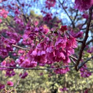 うつむいて咲く桜の完璧な美しさ。