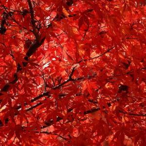 紅葉と黄葉のメカニズム