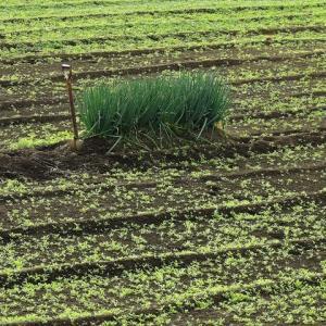 畑の中のネギ畑