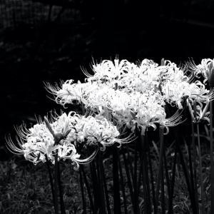 別名1000種以上あると言われる彼岸花