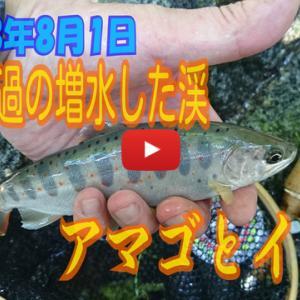台風一過の増水した渓 アマゴとイワナ【動画】