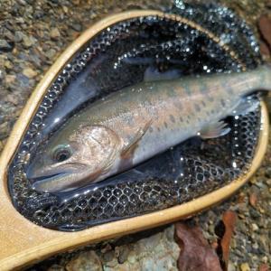 本谷・中ノ沢毛ばり釣り専用区へ行ってきました