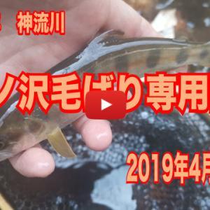 本谷・中ノ沢毛ばり釣り専用区の釣行動画