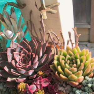 竹筒寄せとメデューサの成長〜ヤブランの花