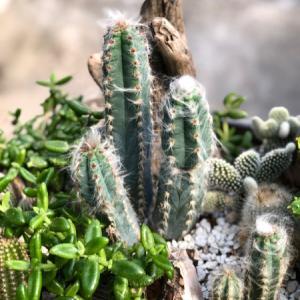 サボテン寄せ鉢〜驚き成長の姫ウチワサボテン