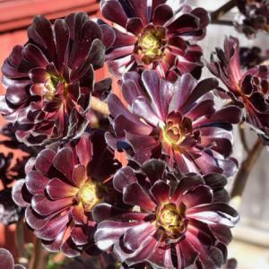 アエオニウム鉢とフクシアの花