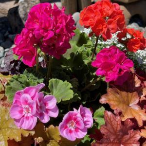 ヒューケラ寄せにお花がいっぱい・DIYキャスター付きベンチチェア♪