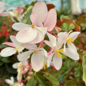 """白色、ピンクにオレンジの""""ベゴニア""""・もふもふ""""銀毛冠の花"""""""
