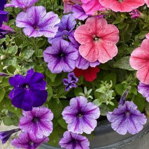 """曇り空でも鮮やか""""ミックスペチュニア""""•寄せ植えの花""""アイスプランツ"""""""