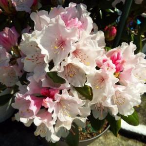 弔う桜。花もいいけど松の命も。  英語の詩「僕は僕自身をたたえ」