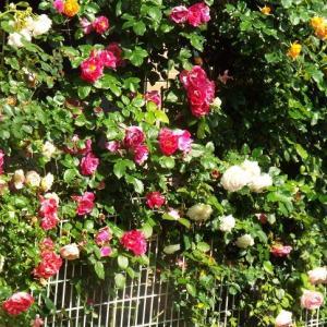 ぐるりとバラに囲まれて。英語の詩。