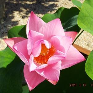 本蓮寺の蓮の花開花。アレルギー検査で花丸。