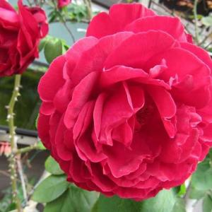 200キロの巨漢の優しい歌とバラの花と。