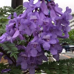 ジャガランダの花さく。手を伸ばせば届くところに。