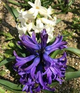 春を迎えた花たち、と、水餃子!
