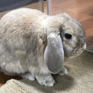 ウサギのアキちゃん大事件