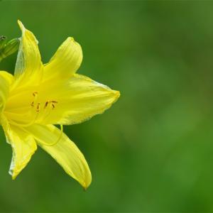 ユウスゲも咲いていた。