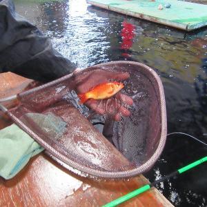 20.4/7 金魚、色鯉よく釣れてますよ!
