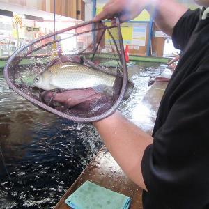 20.6/6  チョウザメよく釣れております!