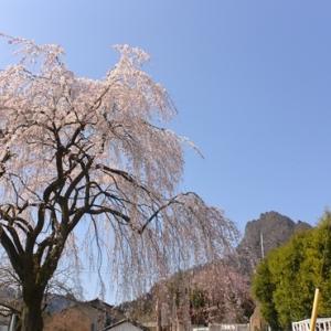 桜咲くグンマ潜入2020