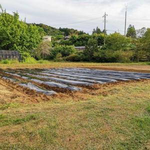 サツマイモ畑の準備