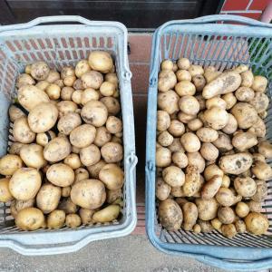 ジャガイモ収穫本格化