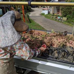 サツマイモ掘り終了