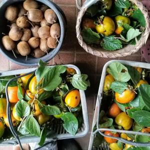 渋柿が豊作