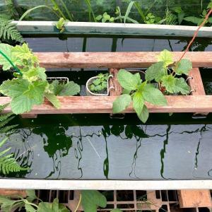 養液栽培の新方式(続き3回目)