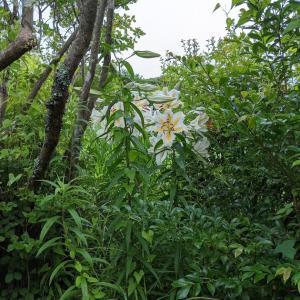 今年もヤマユリが咲く