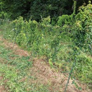芋畑のメンテナンス