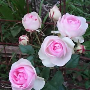北海道で一番だった昨日。我が家ではバラの季節がやってきました。