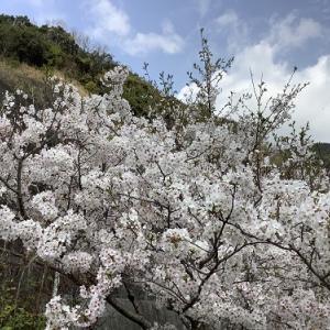 日高川町|チューリップに桜満開です。和歌山県道26号御坊美山線