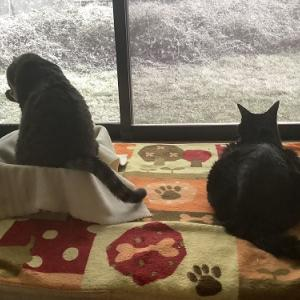 YouTubu動画 部屋の中で雪見している猫達