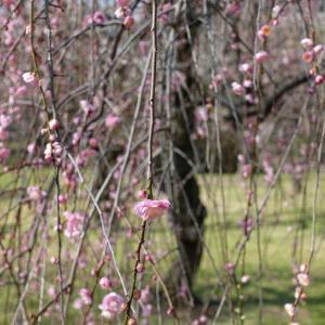 + 春一番を知らず・・・ 一般参賀も中止の天皇誕生日  象徴の根拠なし  大政奉還のすすめ