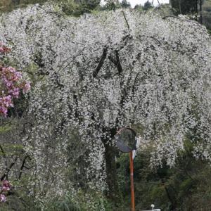 + 子安観音の銘木・・・ 羽衣の枝垂桜を訪ねる  遍路の桜は後の祭り  チャイナの茶番にも拒絶の徹底を!