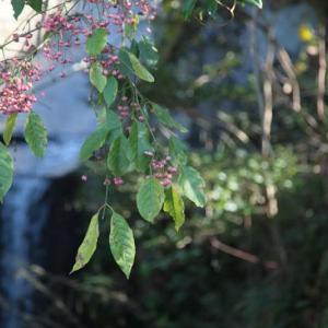 # 山里の檀(マユミ)・・・ 日没は17時に極まる  紅葉の季節を終わる  次は地島  地獄に堕ちたデカダンスの太宰治