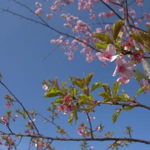 # 寒桜、春三月を吸う・・・ 短い寒桜の季節  「UFOチャンネル」に見る、クラリオン星人の退行催眠  宇宙からの警告